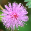 Stock Photo: Sensitive plant ( mimospudic)