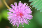 Sensitive plant ( mimosa pudica ) — Stock Photo