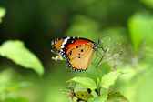 Orange butterfly on flower. (Cethosia cyane) — ストック写真