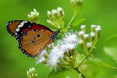 Orange butterfly on flower. (Cethosia cyane) — Stock Photo