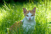 Cat in the grass. The evening sun. — Zdjęcie stockowe