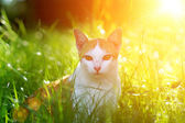 Cat in the grass. The evening sun. — Stock Photo