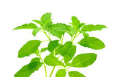 Green leaves of the herb — Stock Photo