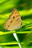Beautiful butterfly on a blade of grass. — Stock Photo