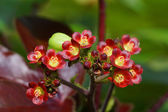 Bellyache Bush flower (Jatropha gossypifolia L.) — Stock Photo