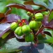 Bellyache Bush flower (Jatropha gossypifolia L.) — Stock Photo