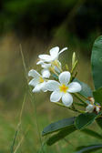 Blossom frangipani flowers for use in the spa. — Stock Photo