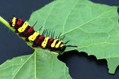 Leopard lacewing (Cethosia cyane euanthes) — Stock Photo