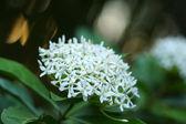 Very fragrant white flowers name Siamese white ixora. — Stock Photo