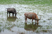 Water buffalo eating grass in a wildlife conservation. — Stock Photo