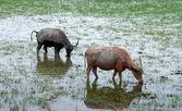 Water buffalo gras eten in een natuurbehoud. — Stockfoto