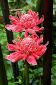 Tropical flower of red torch ginger. — Stock Photo