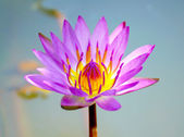 Lotus flower blooming in the rainy season. — Stock Photo