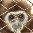Gibbons in captivity. — Stock Photo