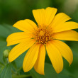 Mexican Sunflower Weed — Foto de Stock