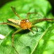 Stock Photo: Jumping spider