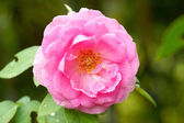 Pink rose in the rainy season. — Stock Photo