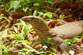 Bengal Monitor Lizard in the rainforest. — Stock Photo