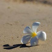 White and yellow frangipani flowers on the beach. — Stock Photo