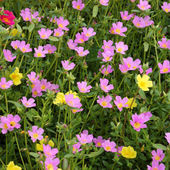Portulaca flowers at the garden. — Stock Photo