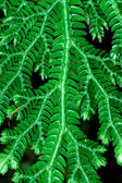 Fresh green leaves of a fern (Spike Moss family) — Stock Photo
