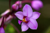 Potted plant orchid — Stock Photo