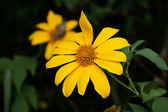 Mexican Sunflower Weed — Stock Photo