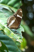 Black butterfly on leaves — Stock Photo