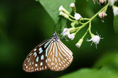 Dark Blue Tiger Butterfly (Tirumala septentrionis) — Stock Photo