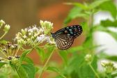 Tmavě modrý tygr motýl (Ivana septentrionis) — Stock fotografie