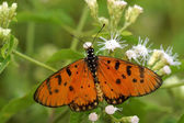 Butterfly on white flower name Tawny Coster — Stock Photo