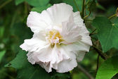 Confederate rose. — Stock Photo