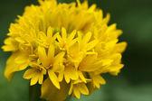 The yellow marigold — Stock Photo