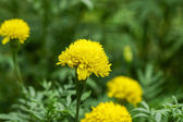 The yellow marigold — Stock Photo
