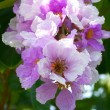 Queens Crape-Myrtle Flower blooming — Stock Photo