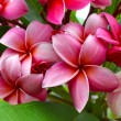 Branch of tropical red flowers frangipani (plumeria) on dark gre — Stock Photo