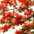 Flame tree. — Stock Photo