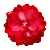 对美丽热带红姜花隔离白色背景 — 图库照片