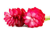 Beautiful tropical red ginger flower on isolate white background — Foto de Stock