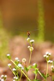 Resting red dragonfly — Stock Photo