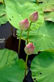 Beautiful lotus flower. — Stock Photo