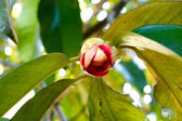 Mangosteen flower on tree. — Stock fotografie