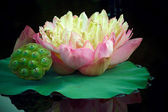 Beautiful lotus flower. — Stock Photo