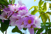 Queens Crape-Myrtle Flower blooming — Stock Photo