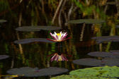 Kwiaty lotosu i lilii wodnej kwiaty kwitnące na staw. — Zdjęcie stockowe