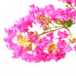 Stock Photo: Crape Myrtle Flowers (LagerstroemiindicL.)