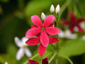 Red flower of Rangoon creeper. — Stock Photo