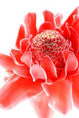 Tropical Red flower of etlingera elatior — Stock Photo