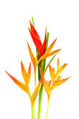 Beautiful Heliconia flower blooming on isolate white background. — Stock Photo