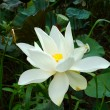 Stock Photo: White beautiful lotus flower. Buddhist religious symbol.